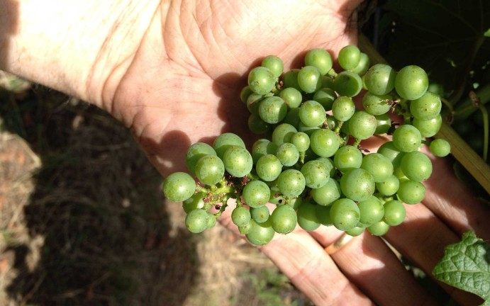 vitiworks-vineyard-management-canopy-management-adelaide-hills-1