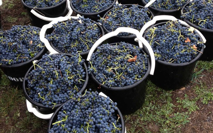 vitiworks-vineyard-management-hand-picking-adelaide-hills-18